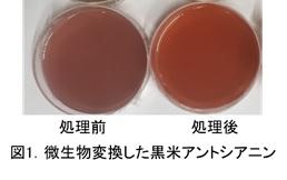 微生物変換した黒米アントシアニン